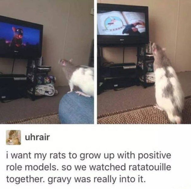 Rat watching the movie Ratatouille