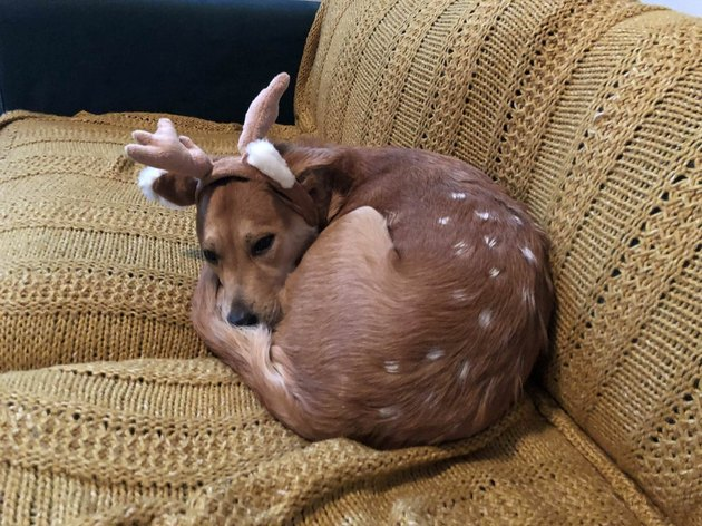 Dog dressed as a deer