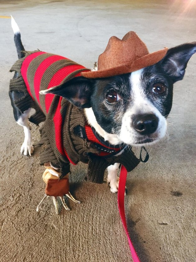 Dog dressed as Freddy Krueger