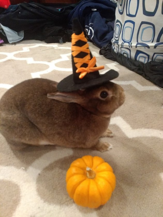 Rabbit dressed as a witch