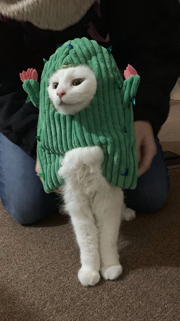 Cat dressed as cactus