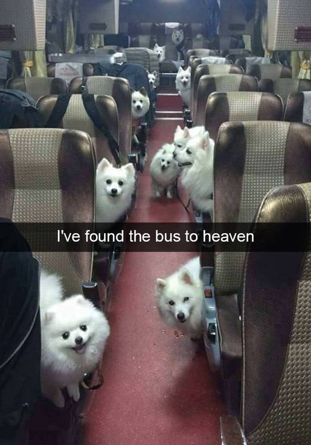 A bus full of cute little white dogs