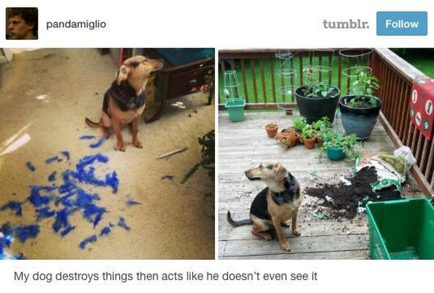 Dog refuses to look at the messes he makes