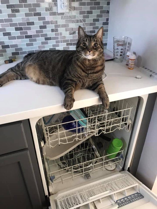 cat lazes on counter above open dishwasher