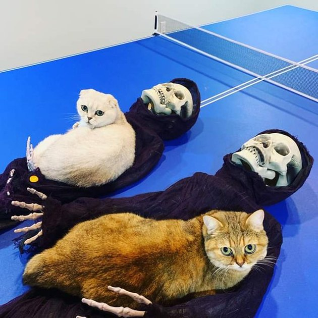 Two cats snoogled up on Grim Reaper Halloween decorations