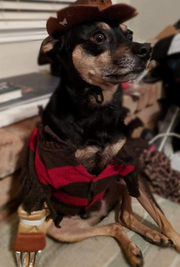 Dog dressed up like Freddy Krueger