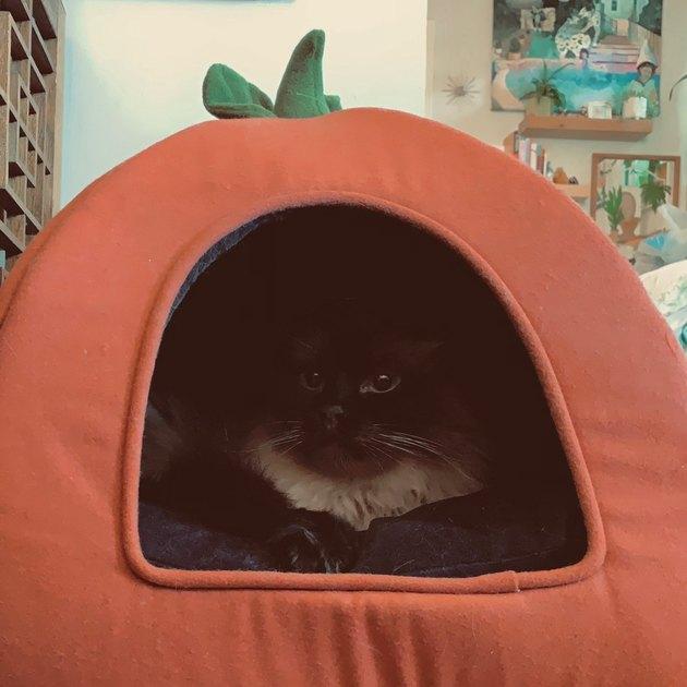 Cute cat in pumpkin bed