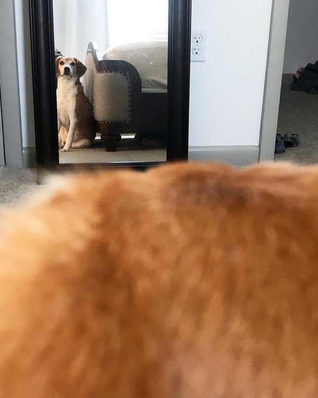 dog stares at self in mirror