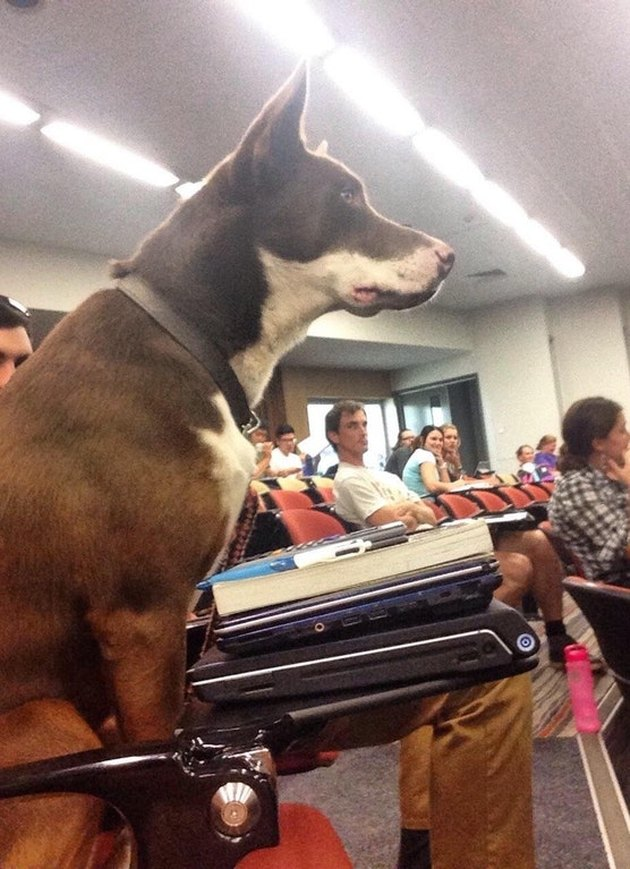 Dog sitting in classroom with two laptops.