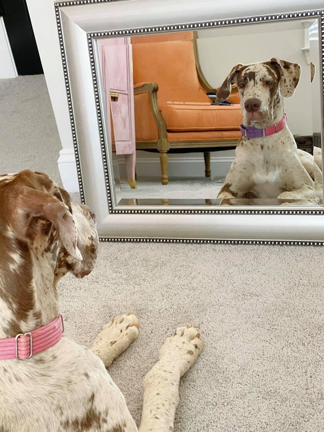 dog sits in front of mirror