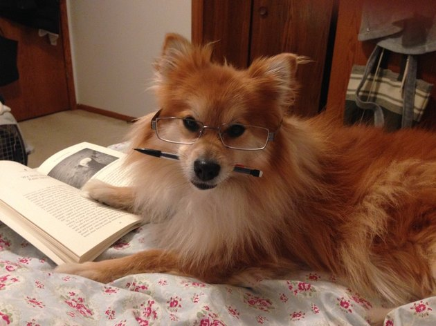 Dog reading book.