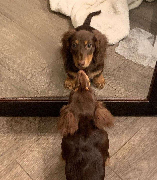 weiner dog looks at weiner dog in mirror