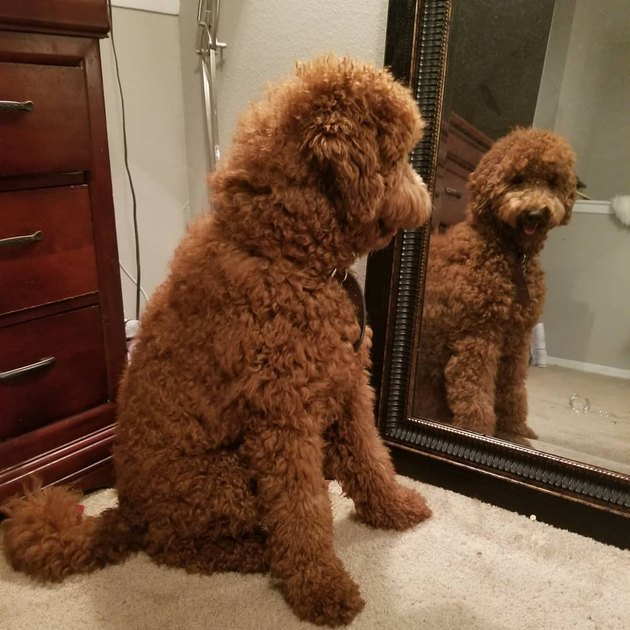 dog admires self in mirror