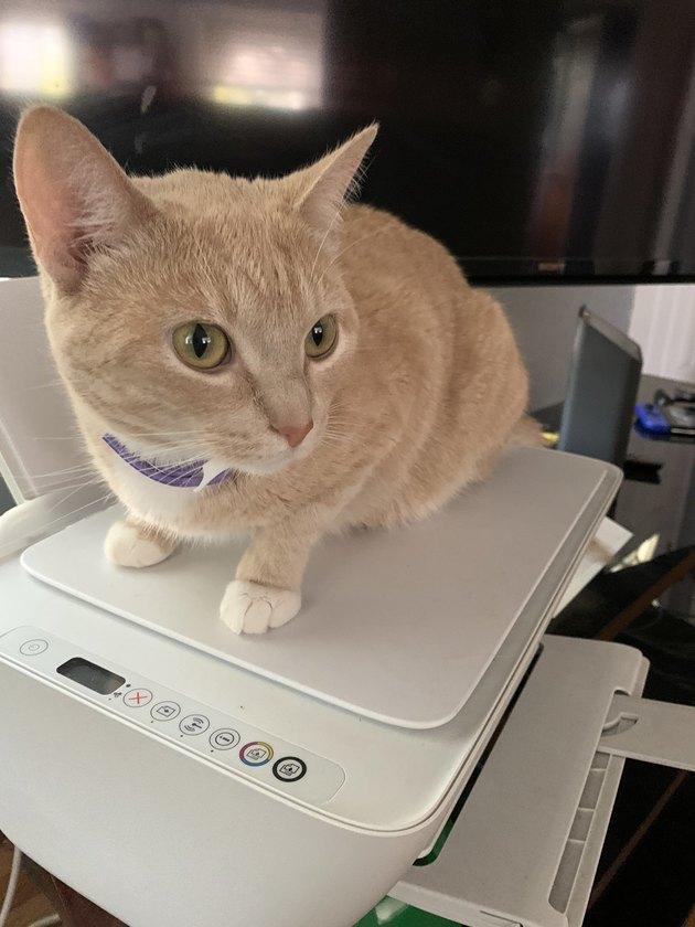 cat sits on printer