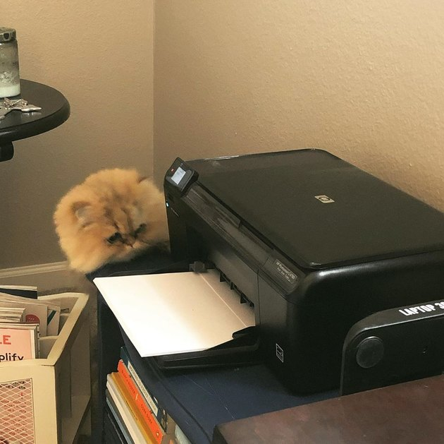 cat curious about printer