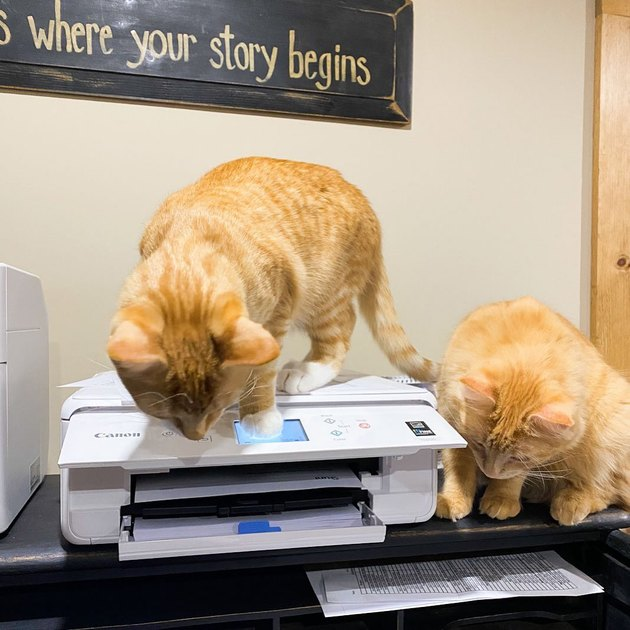 cats curious about printer