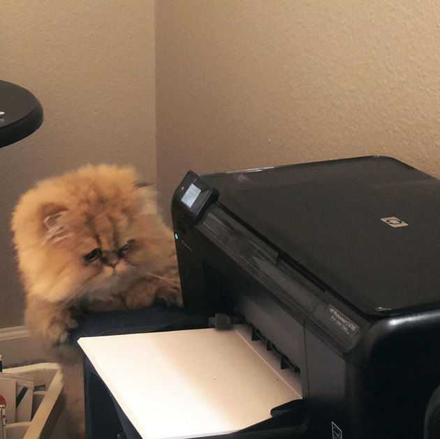 cat stares at printer