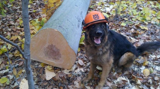Dog wearing construction hat