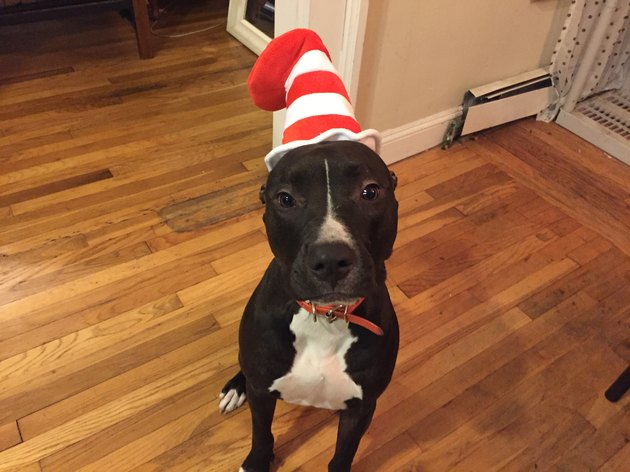 "Dog wearing ""Cat in the Hat"" hat."