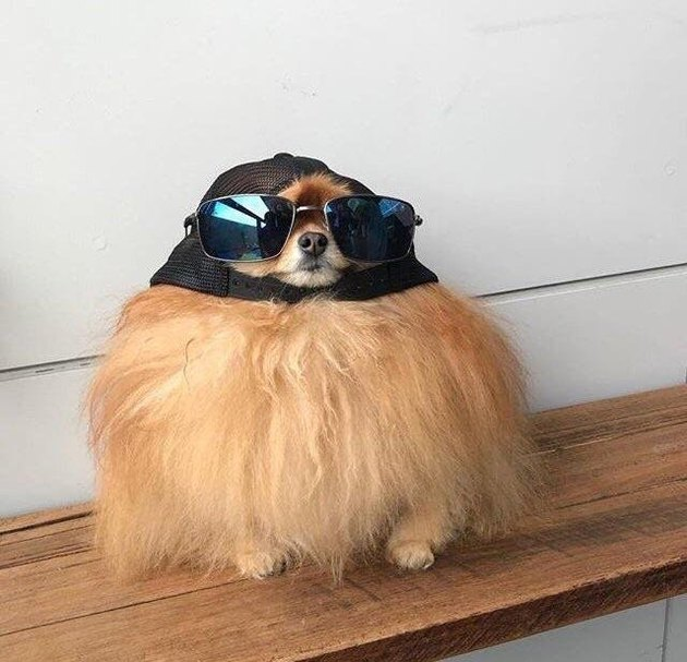 Dog wearing backwards ball cap and sunglasses.