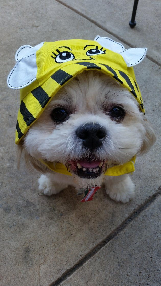 Dog wearing bee hat