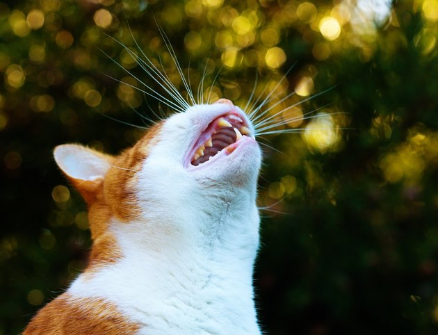 Ginger-and-white cat yowling in garden