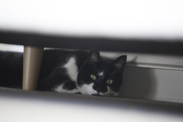Cat settling in to new home hides under sofa