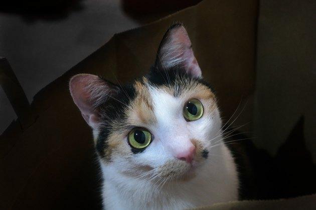 Close-Up Portrait Of A Tricolour Cat