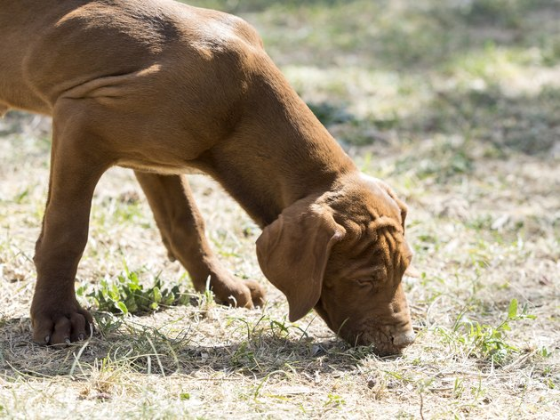Dog of ladle smelling a track on the area , (Braco Hungaro)