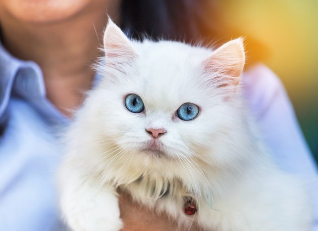 close up white persian cat looking