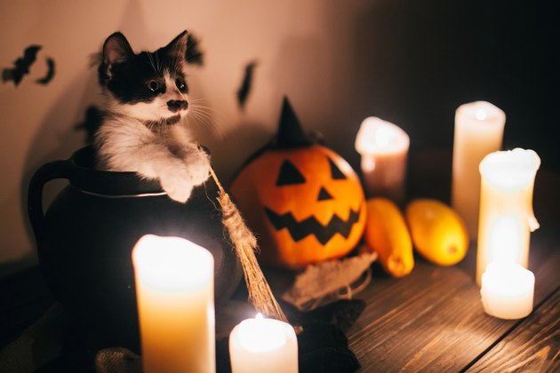 cute kitty sitting in witch cauldron and Jack o lantern pumpkin with candles, broom and bats, ghosts on background in dark spooky room. Happy Halloween concept. atmospheric image