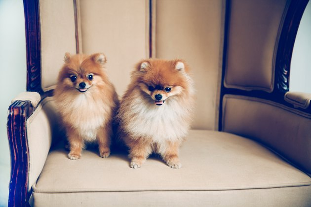 two cute pomeranian dogs sitting on a chair