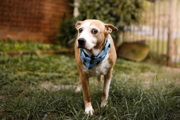 Senior mixed breed dog standing at grass
