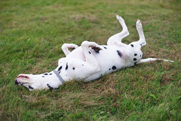 Dalmatian dog lying on its back on a green grass