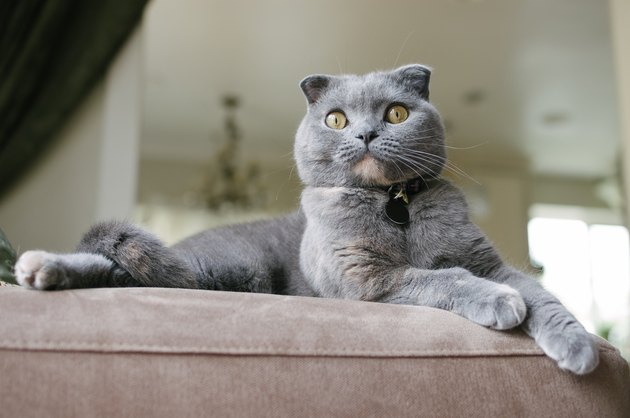 Beautiful Grey Scottish Fold Cat lounges on couch