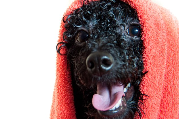 Black poodle after bathing