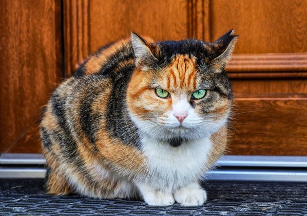 A annoyed domestic cat look at camera. A kitten sitting on doormat before home door. Never touch her. Green eyes