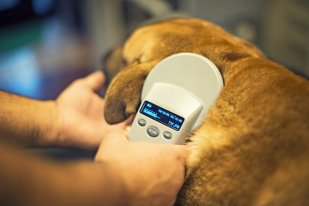 veterinarian scans a microchip on a dog