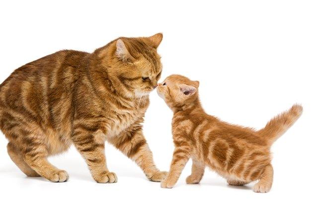 British adult orange cat and little kitten