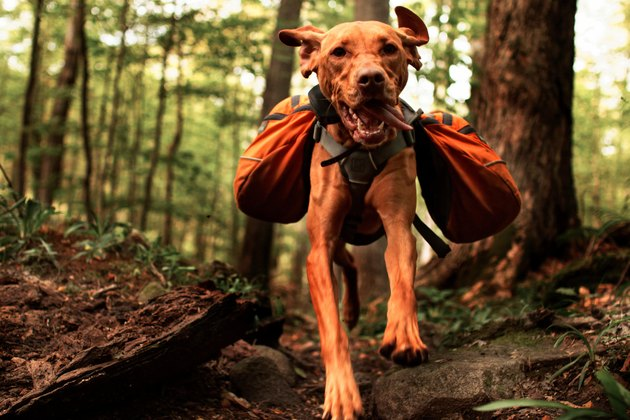 Vizsla Jumping With Backpack