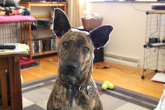 Brindle Dog at Attention with Big Ears