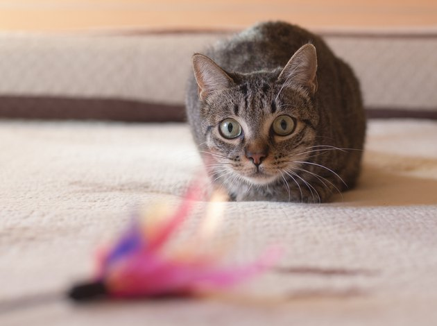 Cat stalking his feather toy