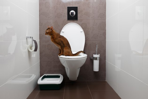 Clever Abyssinian Cat uses toilet bowl