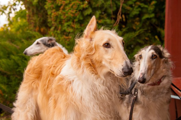 A pair of Russian Wolfhound Hunting Borzoi dogs red, black and white standing on lead and looking in autumn with green and brown background