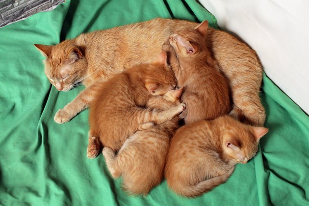 A mother cat sleeps with her kittens on the sofa.