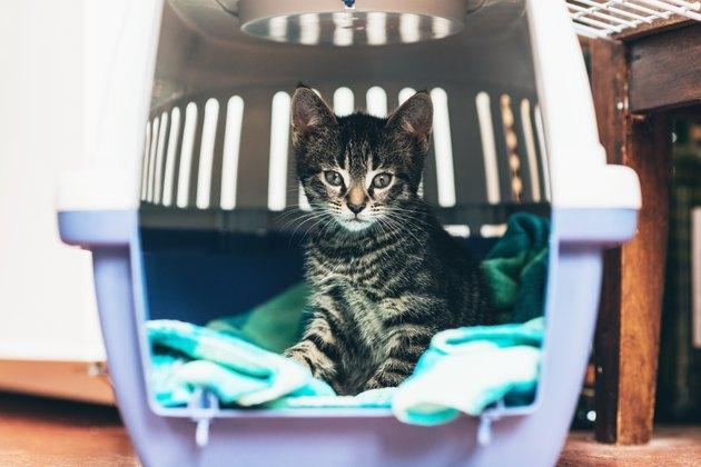 Cute little tabby kitten sitting in a travel crate