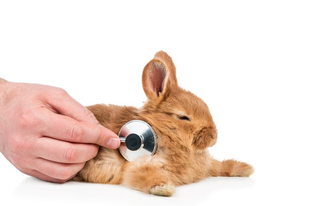 Person putting stethoscope to rabbit