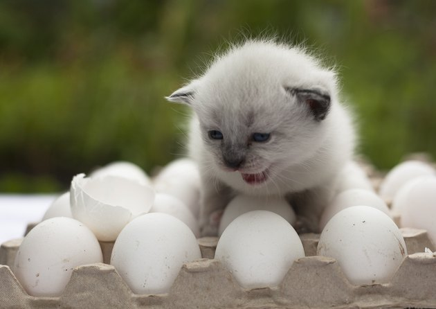 white kitten cry  on the egg with egg shell