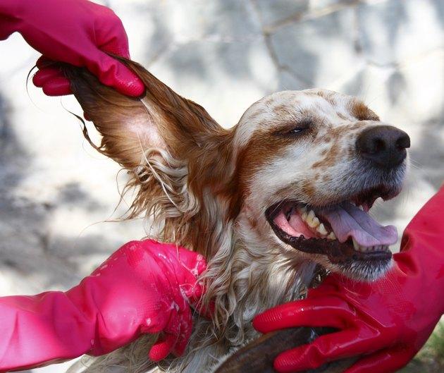 People wearing red gloves washing a dog