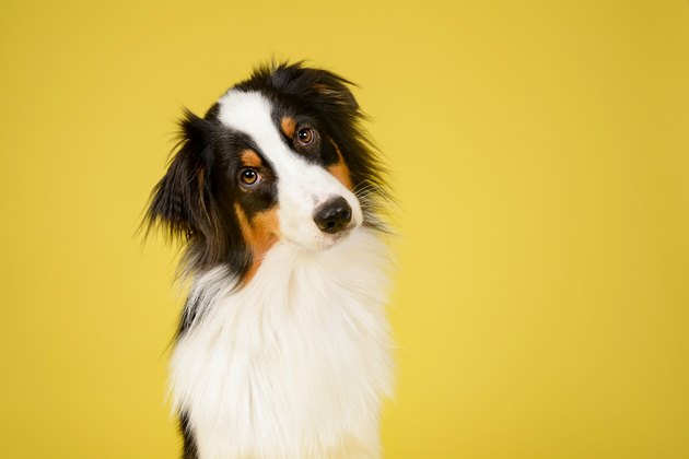 Happy Australian Shepherd Dog tilting head on yellow background
